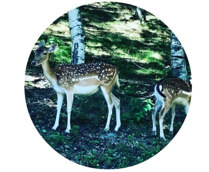 Alt_imagen ciervos escapada familiar Molló Parc