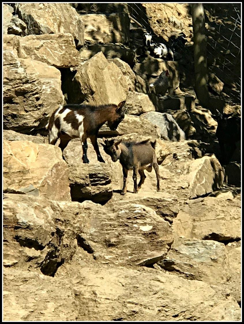 Alt_imagen cabras en la escapada familiar a Molló Parc