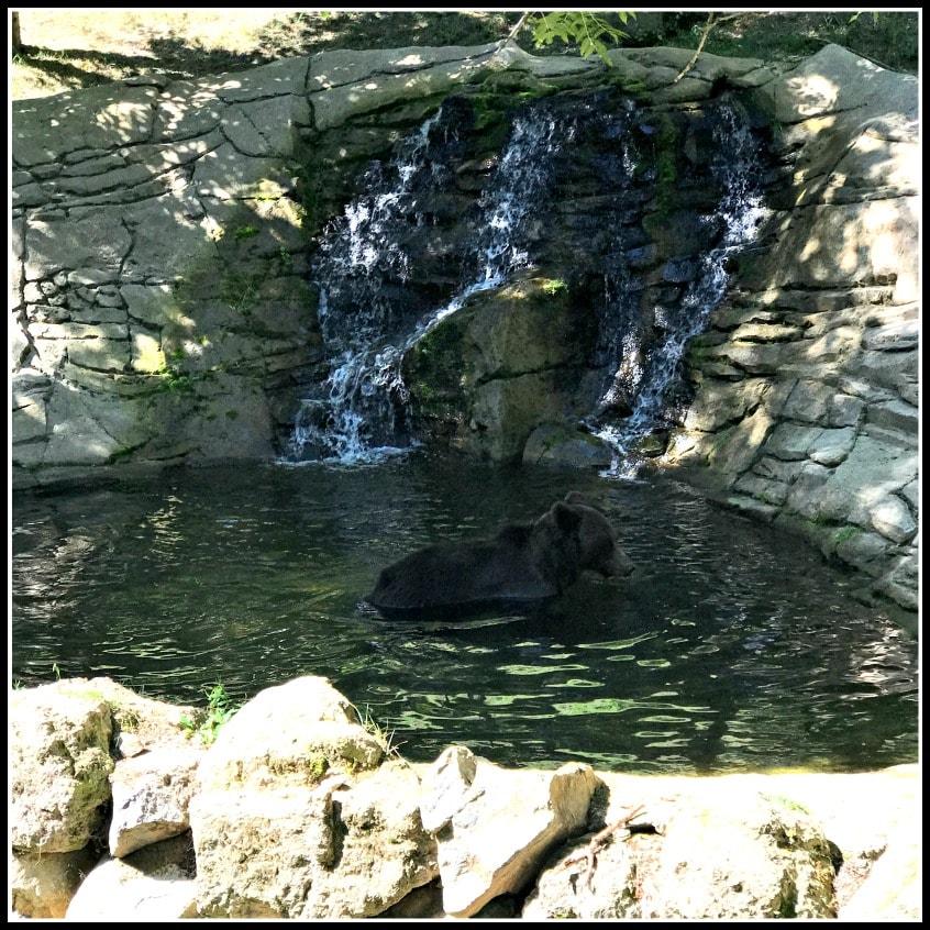 Alt_imagen del oso bañándose en nuestra escapada familiar a Molló Parc